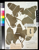 view Aristolochia pannosoides Hoehne digital asset number 1