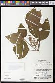 view Leandra regnellii (Triana) Cogn. digital asset number 1
