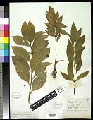 view Ruscus hypophyllum L. digital asset number 1