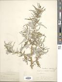 view Xanthium spinosum L. digital asset number 1