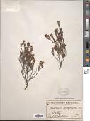 view Hibbertia serpyllifolia Aiton ex DC. digital asset number 1