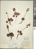 view Pyrola grandiflora Radius digital asset number 1