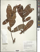 view Clusia myriandra (Benth.) Planch. & Triana digital asset number 1