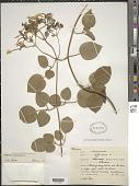 view Jasminum azoricum L. digital asset number 1