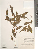 view Dermocarpa sphaerica var. galapagensis Setch. & N.L. Gardner digital asset number 1