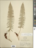 view Polystichum imbricans subsp. curtum (Ewan) D.H. Wagner digital asset number 1