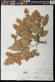 view Flemingia fruticulosa Wall. ex Benth. digital asset number 1