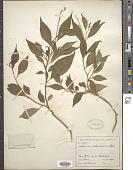 view Monnina costaricensis Chodat ex T. Durand & Pittier digital asset number 1
