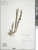 view Phlegmariurus ulcifolius (Sw.) S. R. Gosh digital asset number 1
