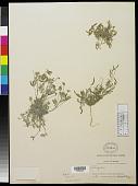 view Astragalus nuttallianus var. austrinus DC. digital asset number 1