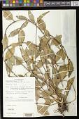 view Aeschynanthus hartleyi P. Woods digital asset number 1