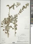 view Marrubium vulgare L. digital asset number 1