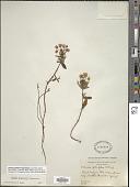 view Kalmia polifolia Wangenh. digital asset number 1