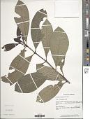 view Psychotria bangueyensis Merr. digital asset number 1