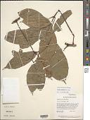 view Paullinia ingifolia Rich. ex Juss. digital asset number 1