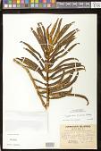 view Cyrtandra procera Hillebr. digital asset number 1