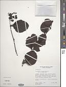 view Oryctanthus occidentalis (L.) Eichler digital asset number 1