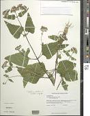 view Conoclinium coelestinum (L.) DC. digital asset number 1