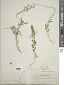 view Selaginella biformis A. Braun ex Kuhn digital asset number 1