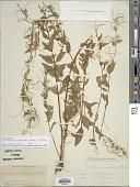 view Epilobium ciliatum Raf. subsp. ciliatum digital asset number 1