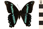 view Green-banded Swallowtail, Blue-banded Swallowtail digital asset number 1