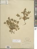 view Lupinus concinnus J. Agardh digital asset number 1