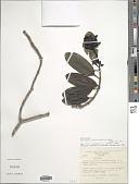 view Schradera costaricensis Dwyer digital asset number 1