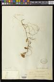 view Trichosporum sp. digital asset number 1