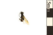 view Bethylid Wasp digital asset number 1