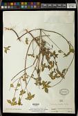 view Euphorbia schiedeana (Klotzsch & Garcke) Mayfield ex C. Nelson digital asset number 1