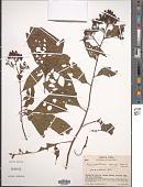 view Pleuropetalum sprucei (Hook. f.) Standl. digital asset number 1