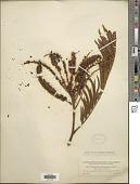 view Pentaclethra macroloba (Willd.) Kuntze digital asset number 1