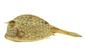 view Trunkfish digital asset number 1