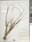 view Carex heleonastes Ehrh. ex L. f. digital asset number 1