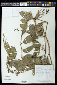 view Tetracera parviflora (Rusby) Sleumer digital asset number 1