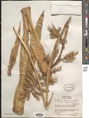 view Aechmea pubescens Baker digital asset number 1