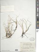 view Carex livida (Wahlenb.) Willd. digital asset number 1