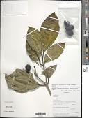 view Rudgea viburnoides subsp. megalocarpa Zappi digital asset number 1