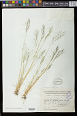 view Zingeria trichopoda (Boiss.) P.A. Smirn. digital asset number 1