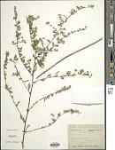 view Symphyotrichum lateriflorum (L.) Á. Löve & D. Löve digital asset number 1