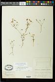 view Pectis filipes var. subnuda Fernald digital asset number 1