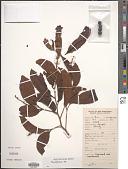 view Neolitsea sp. digital asset number 1