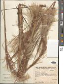 view Andropogon bicornis L. digital asset number 1