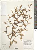 view Vriesea procera (Mart. ex Schult. & Schult. f.) Wittm. digital asset number 1