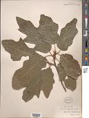view Quercus x leana Nutt. digital asset number 1