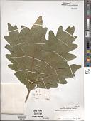 view Quercus arlingtoniana digital asset number 1