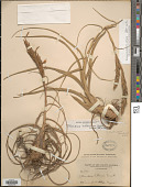 view Tillandsia balbisiana Schult. f. digital asset number 1