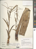 view Brocchinia micrantha (Baker) Mez digital asset number 1