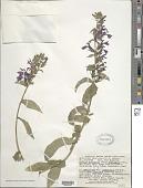 view Lobelia cardinalis subsp. cardinalis L. x L. siphilitica f. albiflora (Britton) House McVaugh digital asset number 1