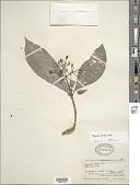 view Psychotria tenuifolia Sw. digital asset number 1